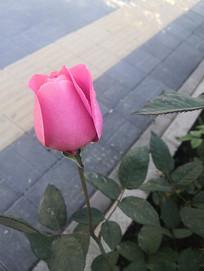 一朵粉色月季花苞