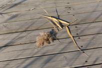 折断在木板上的芦苇