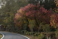 深秋木子树红