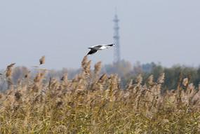 在芦苇丛上空飞行的红嘴鸥