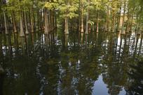 百亩水杉湿地