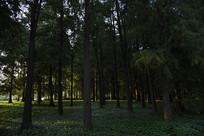 傍晚的小树林