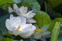 三朵白莲花