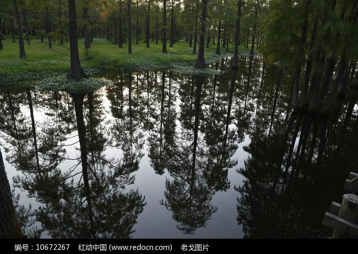 杉树倒影图片