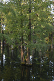 水杉连理树
