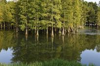 郊野公园水杉林