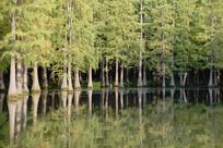 夕阳水杉林