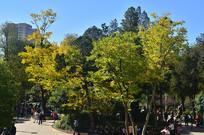 初秋的银杏树林