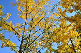 金黄的银杏树叶秋景