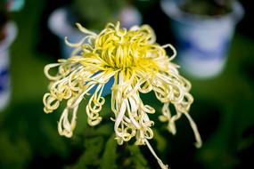 金色的菊花