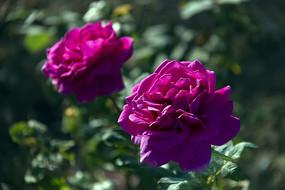 两朵玫红月季