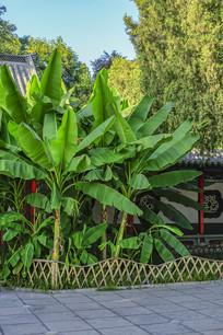 热带植物芭蕉树