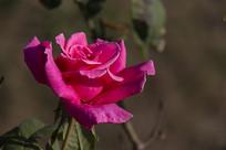盛开的玫红月季
