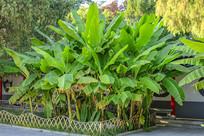 庭院里的芭蕉树