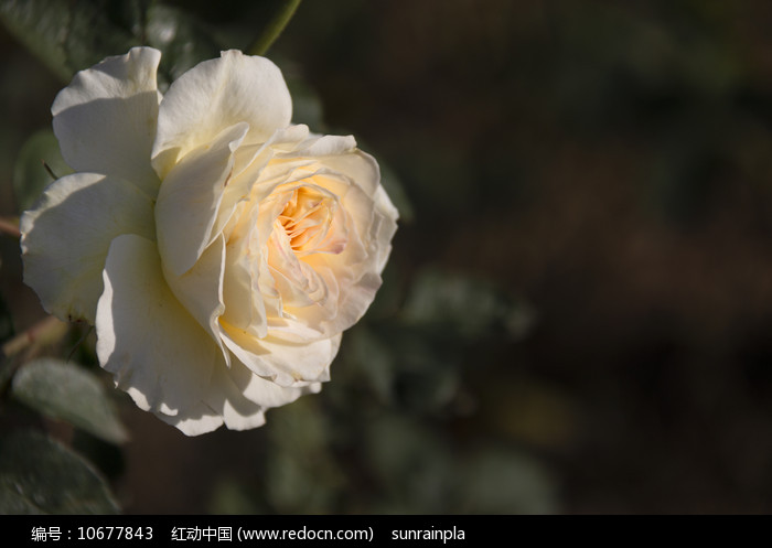 一朵淡黄色月季图片