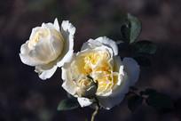 一束淡黄的月季花
