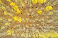 航拍金秋森林黄叶