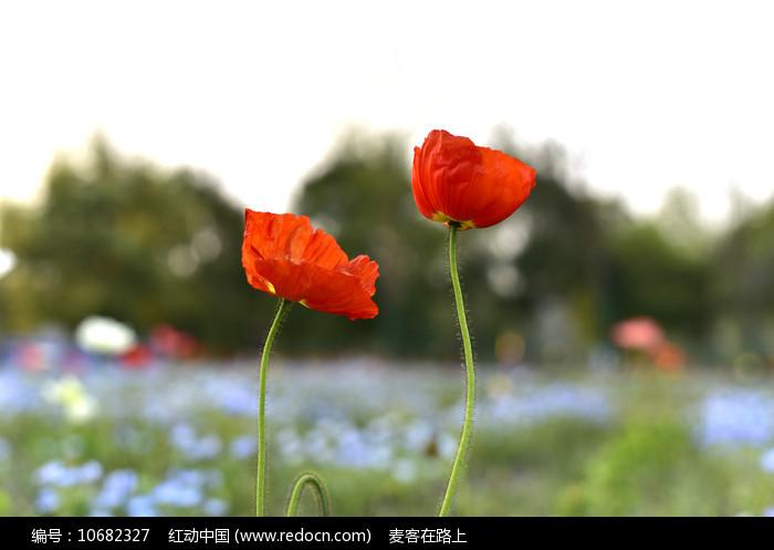 两朵小红花图片