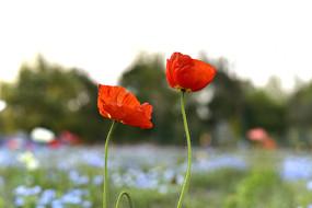两朵小红花