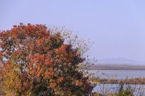 一棵红叶树