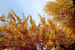 金黄的银杏树叶
