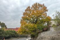 秋天的古树