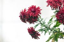 一束红菊花