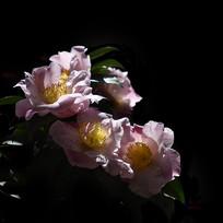 黑背景的山茶花