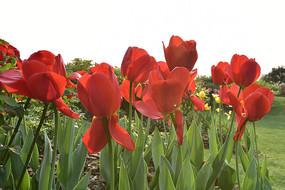 红色的郁金香花