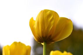 黄色的郁金香