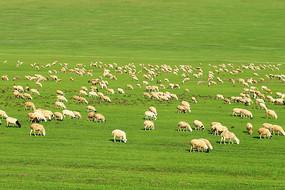 呼伦贝尔草原羊群