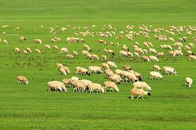 呼伦贝尔绿色草原羊群