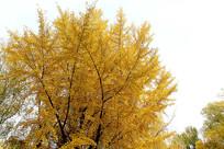 金黄色银杏树树叶