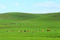 绿色牧场三河牛牛群