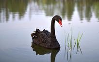 水中的黑天鹅