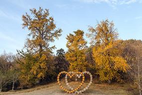 同心恋人古银杏树