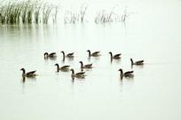 北京野鸭湖湿地的野鸭