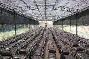 灵芝木糠麦麸混合营养包厂房