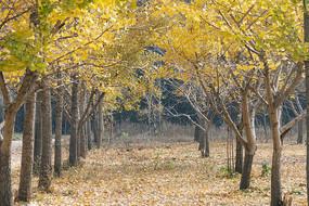 两行秋天的银杏树
