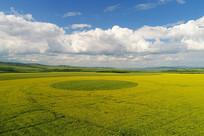 田野油菜花开的风景