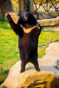 站立的黑熊