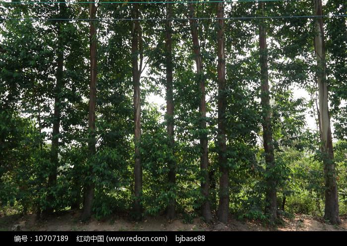 桉树林图片
