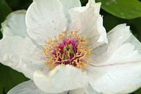 白色牡丹花花瓣
