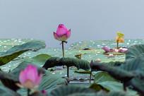 池塘荷花莲蓬