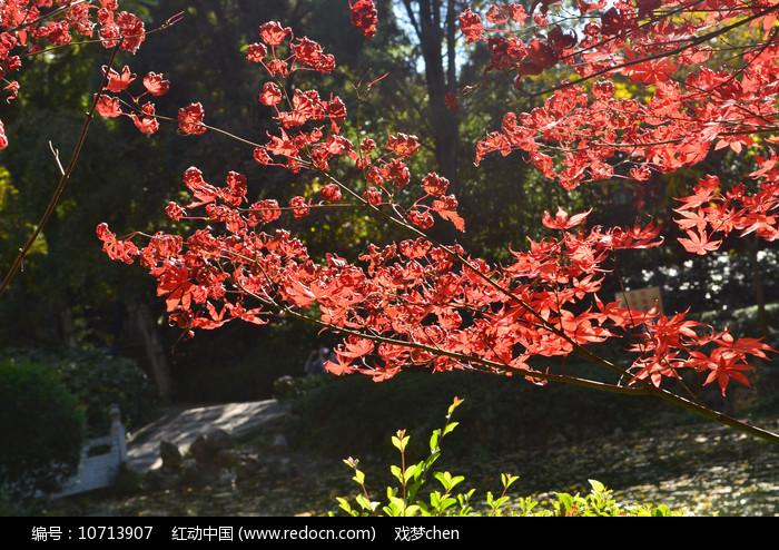 红枫树树枝图片