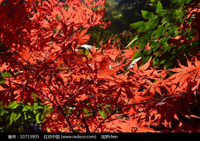 红枫树叶图片