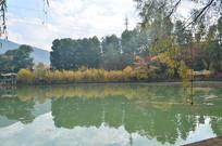 湖边金色的垂柳