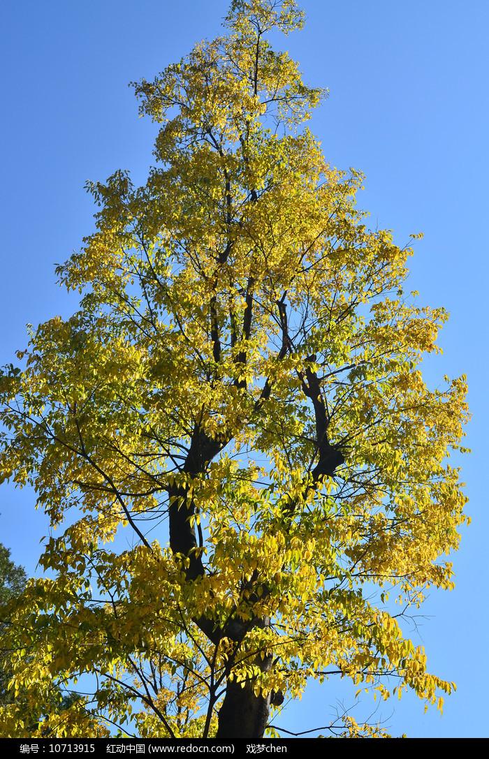 蓝天树木秋色图片