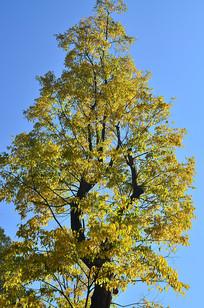 蓝天树木秋色