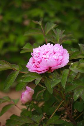 浅粉色牡丹花